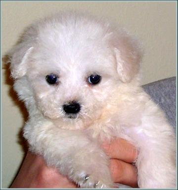 Maltipoo Puppies on Maltipoo Puppies For Good Home   Albury   Dogs For Sale  Puppies For