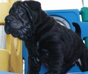 What a nice looking Chinese Shar-Pei Puppies For Sale