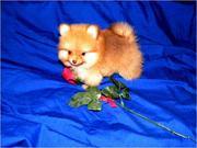 Toy Pomeranian puppies ready now to good homes