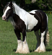 stallion gypsy vanner for sale