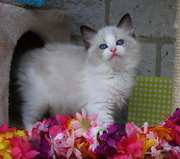 Shelzdollz is a registered breeder of Ragdolls