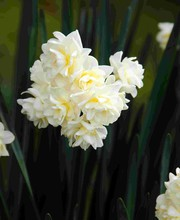 Growing Daffodils In Australia