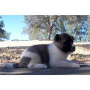 akita puppy for sale .